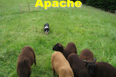 apache_mouton_accueil