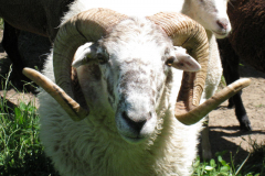mouton003
