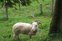 mouton020