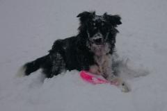 Django, chien d'avalanche